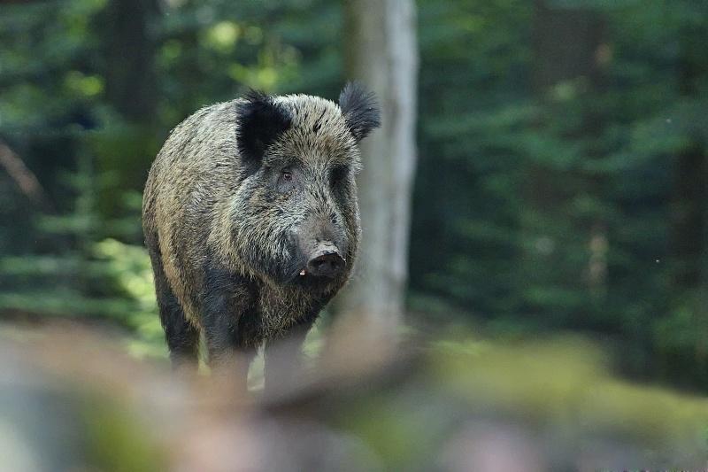 Дикая свинья. Фото: MakaraSK, CC-BY-SA-4.0