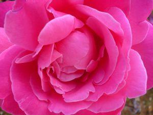 Роза. Фото: Елена Арсениевич, CC BY-SA 3.0
