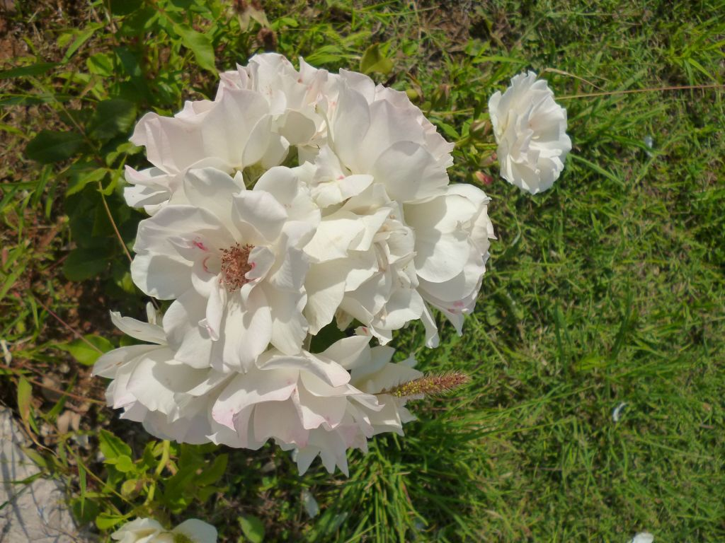 Белые розы. Фото: Елена Арсениевич, CC BY-SA 3.0