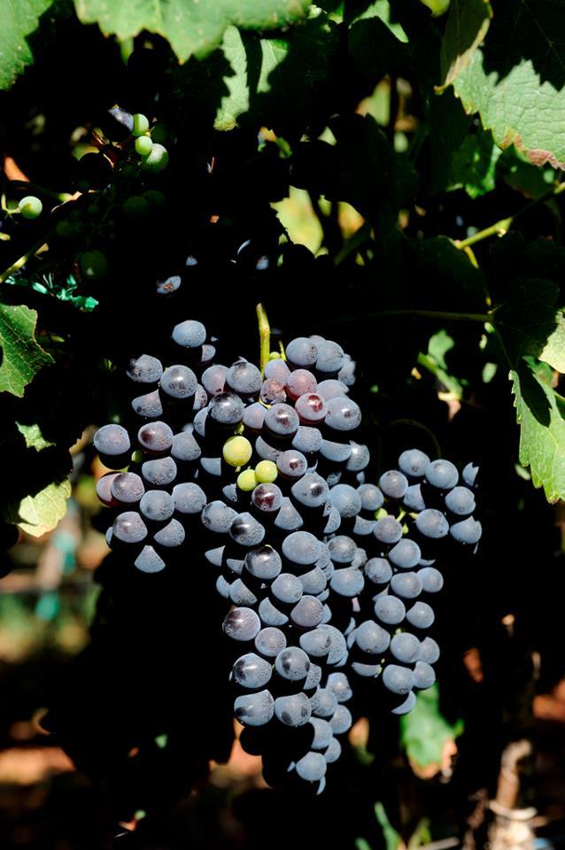 Виноград на лозах Марияновича. Vinarija Marijanović, Copyright