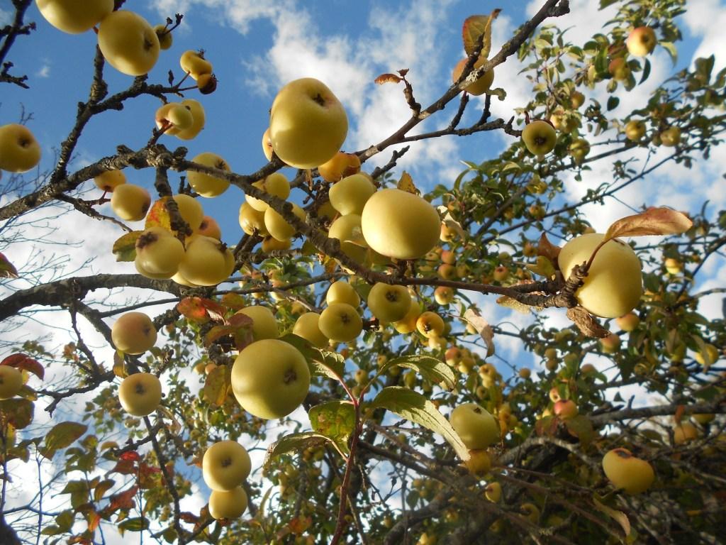 Яблоко как средство привлечения внимания. Фото: Елена Арсениевич, CC BY-SA 3.0