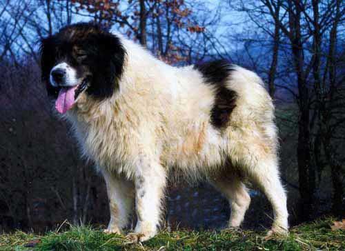 Собака породы торняк. Caronna, GNU 1.2