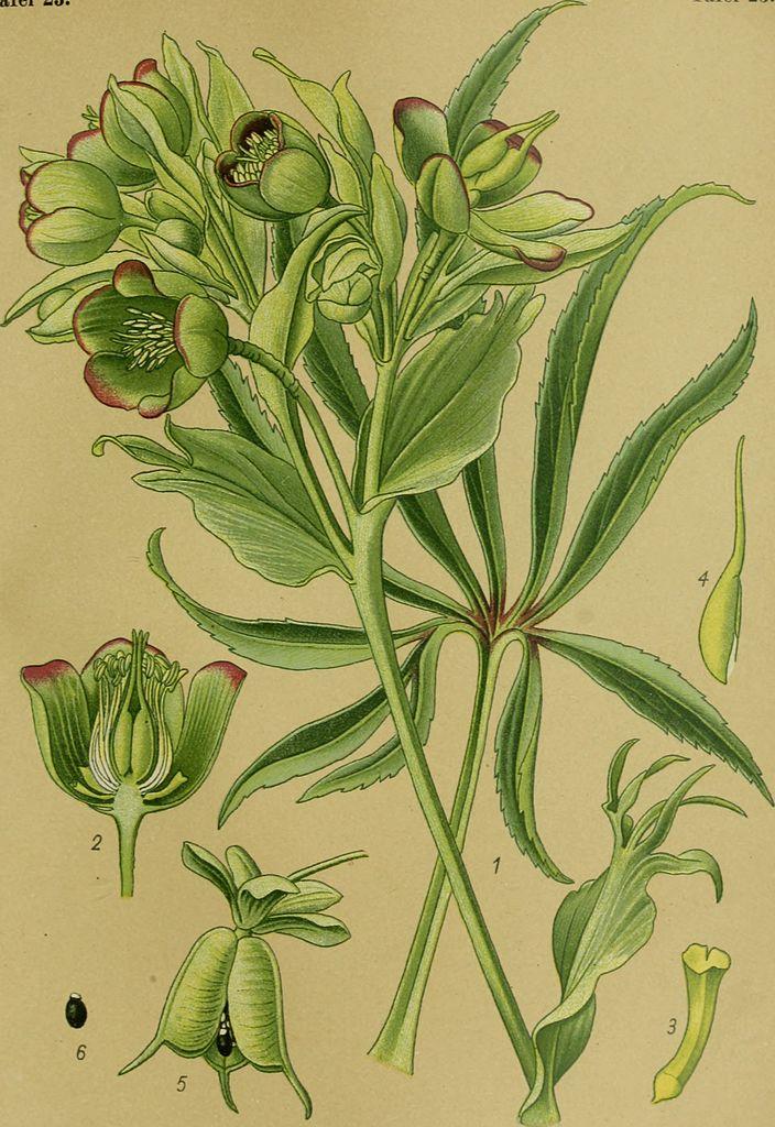 Морозник. Ботаническая иллюстрация. Esser, Peter, No copyright