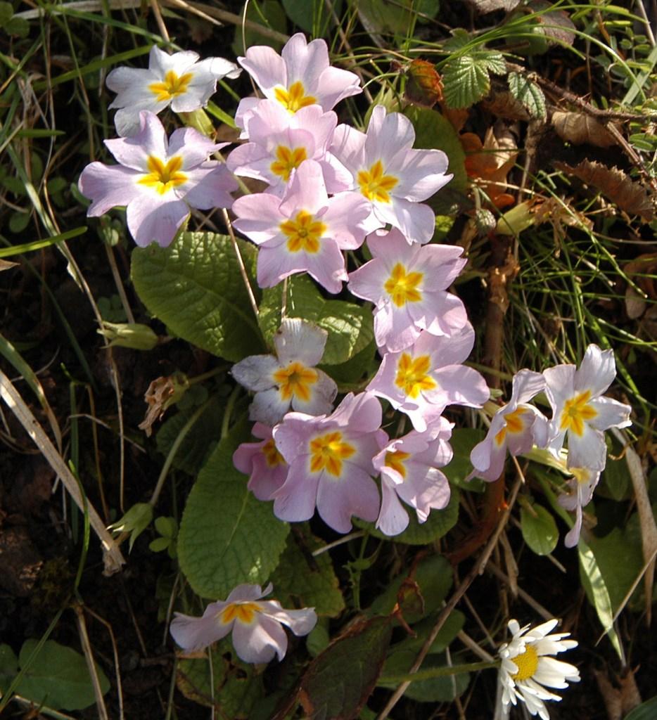 Primula vulgaris subsp. sibthorpii. Kurt Kulac, GNU 1.2