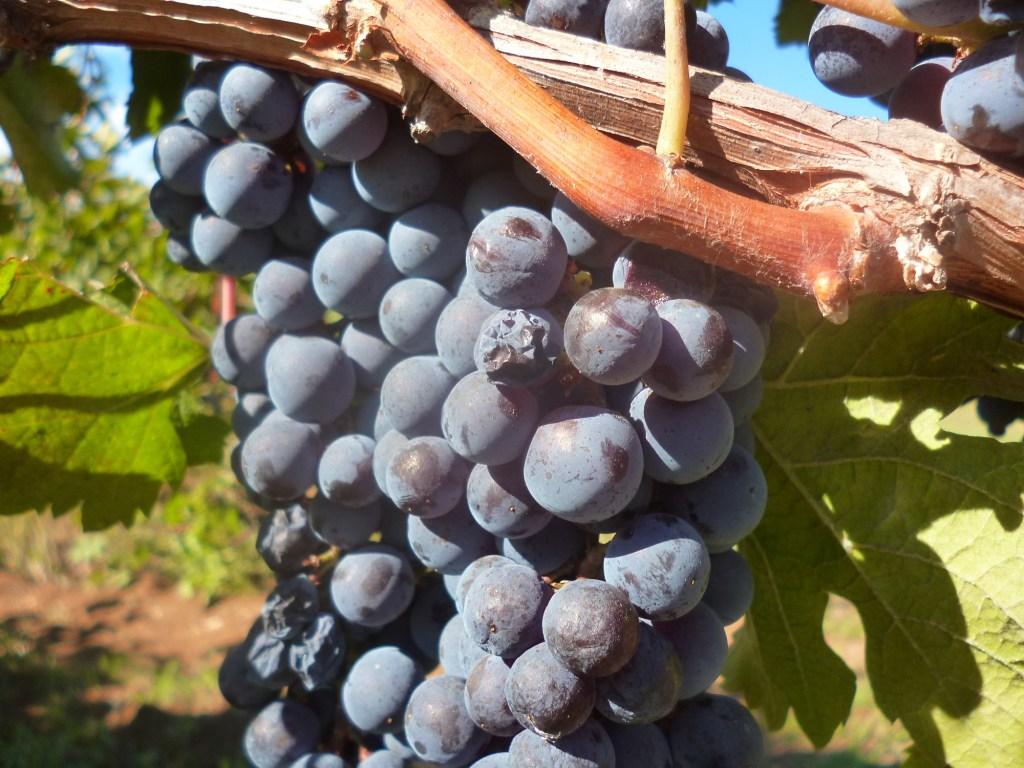 Виноград из Требине. Фото: Елена Арсениевич, CC BY-SA 3.0