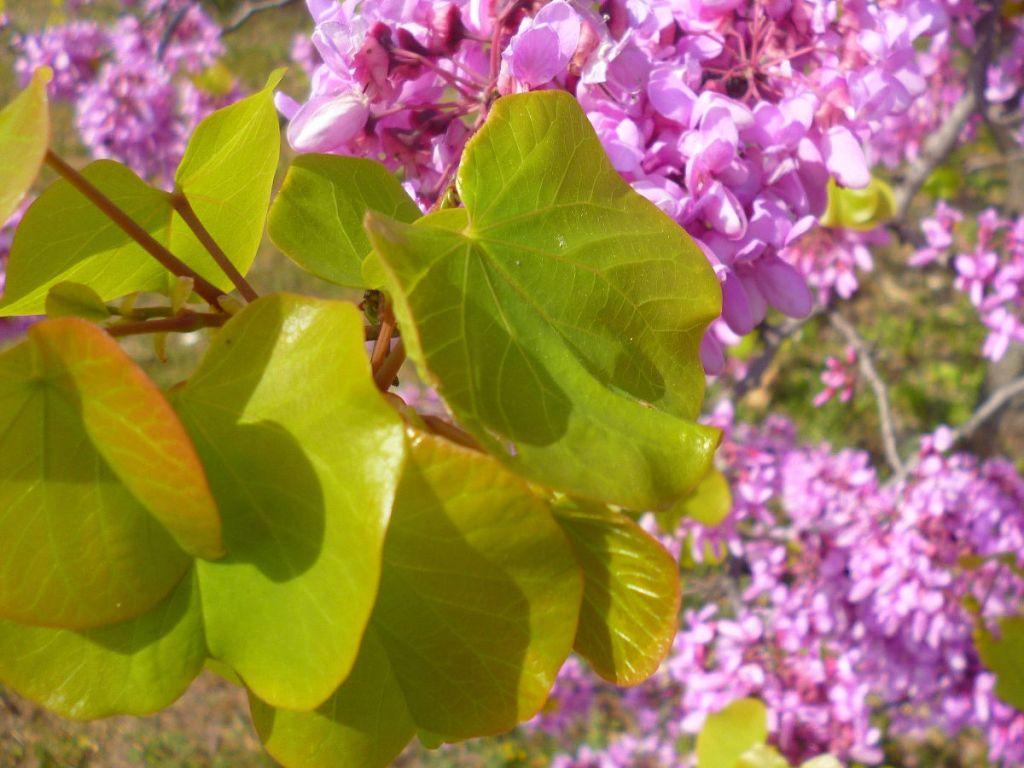 Листья багрянника. Фото: Елена Арсениевич, CC BY-SA 3.0
