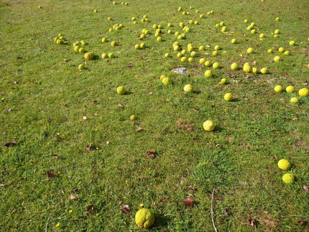 Это не теннисные мячики, это маклюра. Фото: Елена Арсениевич, CC BY-SA 3.0