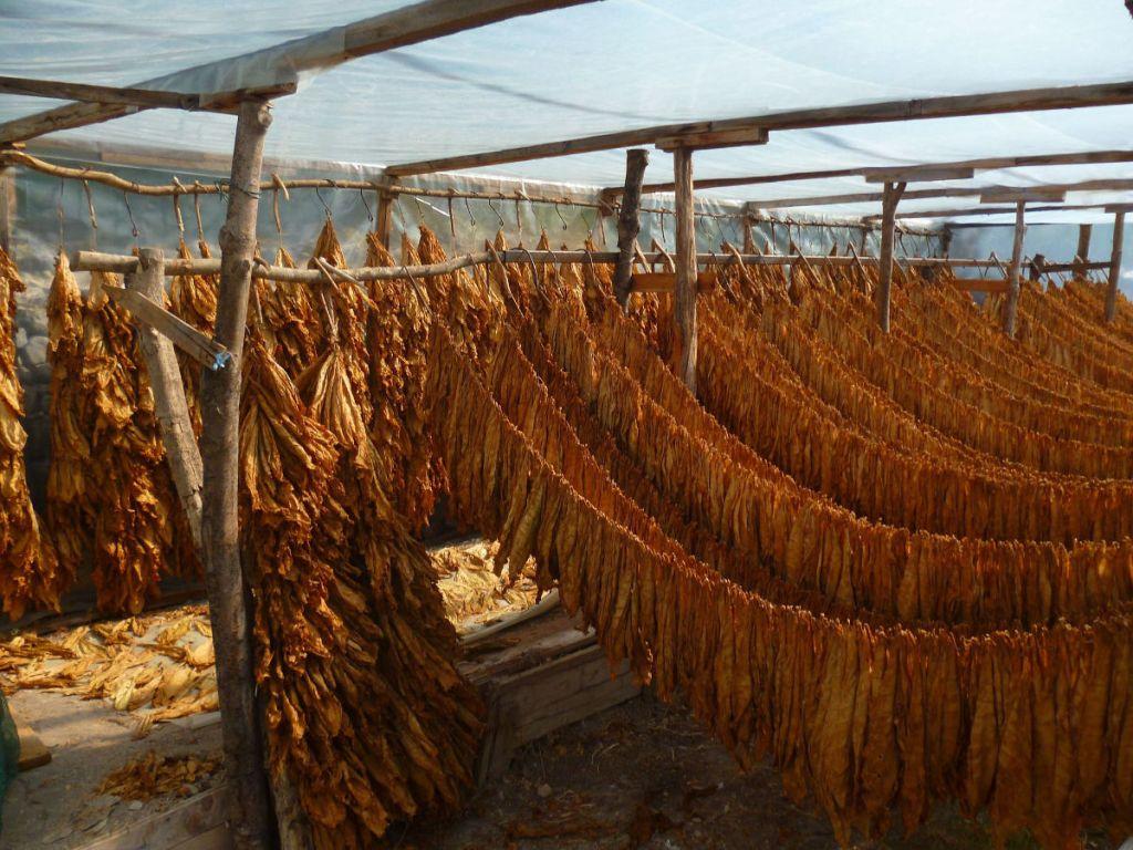 Сушка табачных листьев. Фото: Елена Арсениевич, CC BY-SA 3.0