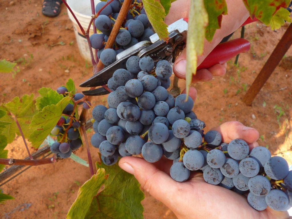 Сбор винограда. Фото: Елена Арсениевич, CC BY-SA 3.0