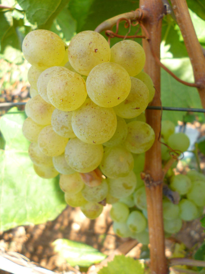 Виноград сорта жилавка. Фото: Елена Арсениевич, CC BY-SA 3.0