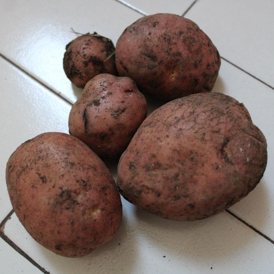 Гламочская картошка. Фото: Елена Арсениевич, CC BY-SA 3.0
