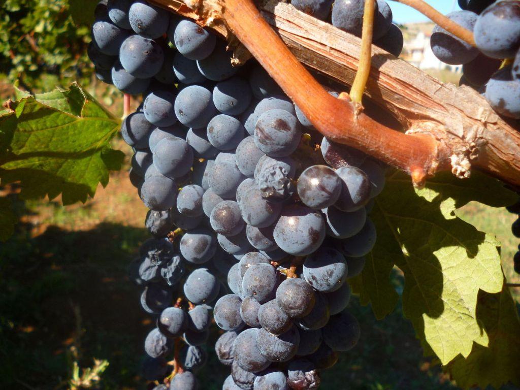 Герцеговина – винодельческий регион. Фото: Елена Арсениевич, CC BY-SA 3.0