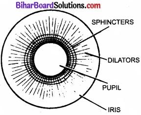 Bihar Board Class 11 Biology Chapter 21 तंत्रिकीय नियंत्रण एवं समन्वय