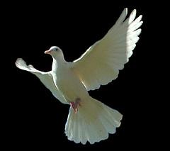 bijbelsefeesten pinksteren duif