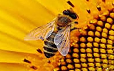 Tentoonstelling over wilde bijen
