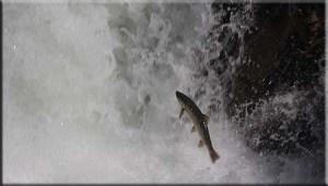 Jumping Salmon at Caño
