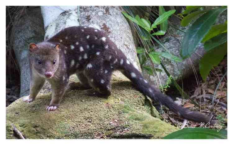 Spotted Quoll also known as the Tiger Quoll