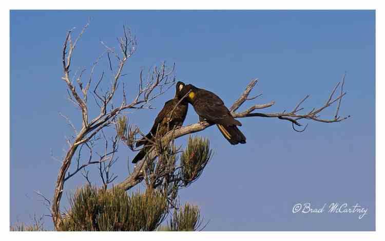 Yellow tailed black cockatoos