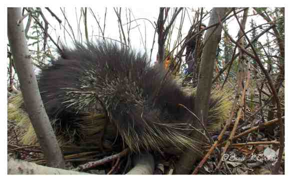 Porcupine in defense mode