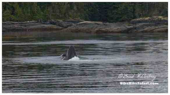 Bubble net feeding Humpback Whale, Telegraph Cove