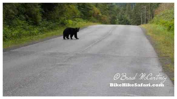 Black Bear checking me out near Telegraph Cove, Vancouver Island
