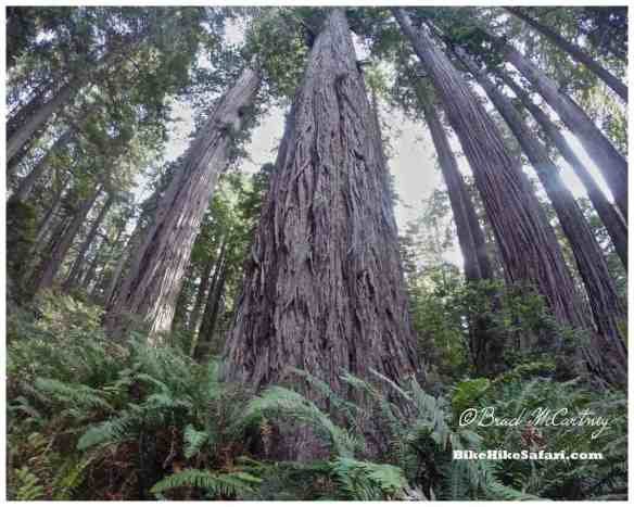 Redwoods of Lady Byrd Grove