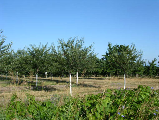 A cherry orchard.  Look close to see the cherries.
