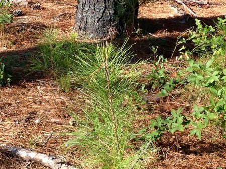 A new pine pokes up through the ground near some trunks of trees that had been damaged in the fire.