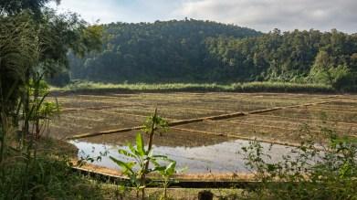 Rýžové pole v Phrao