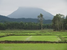 Juicy Rice Field