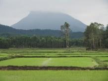 Zelené rýžové políčka