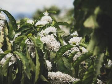 Kávový stromek v květu