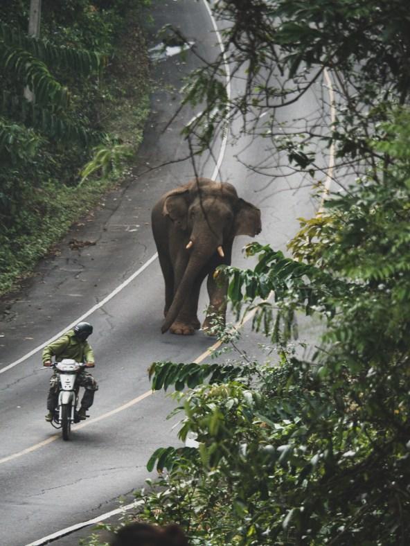 Brave ranger disturbing an elephant