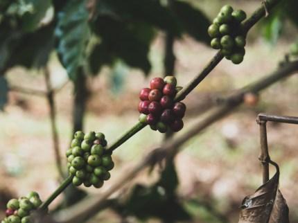 Kávové zrna
