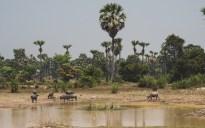 Buffalos near Siem Reap