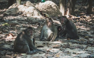 Opice poblíž chrámu Angkor Wat