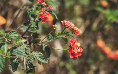 Jarní květy, Kathmandu Valley