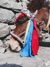 A Donkey, Dharapani, Nepal