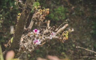 Květy rododendrónu, Nepál