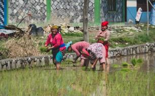 Rice planting, Bhorletar