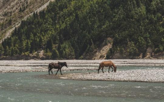 Mustangové v řece údolí Lower Mustang. Jomsom, Nepál