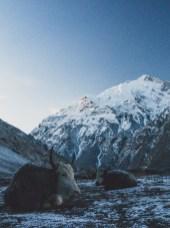 Frosty Yaks. Tilicho Basecamp, Nepal
