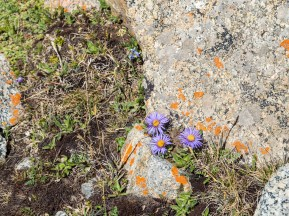 Alpine Folwers. Tosor Pass, Kyrgyzstan
