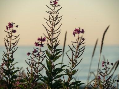 Wild flowers. Hadel, Norway