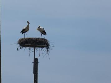In the end both storks were on the nest, protecting the chicken.