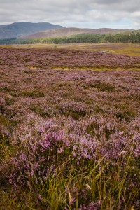 Scottish Heather and Its Colors
