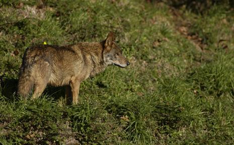 Ecologistas piden al Gobierno vasco incluir al lobo en el catálogo de especies amenazadas