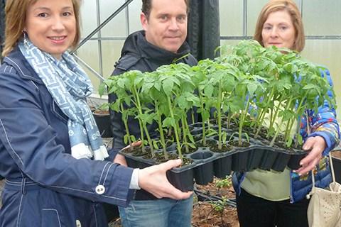 Los agricultores reciben las primeras plantas para recuperar el tomate enano de Zalla
