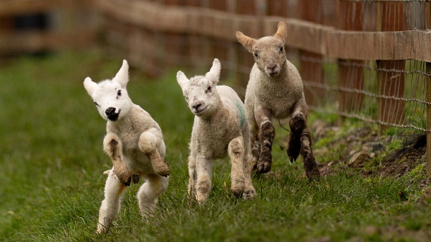 Great Britain, Moreton Morrell: Three newborn lambs run across a meadow.  (Source: dpa / Jacob King / PA Wire)