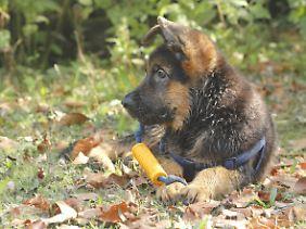 Verspielt: ein drei Monate alter Schäferhund-Welpe.